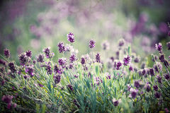 Lavender in the field - vintage photo Royalty Free Stock Photo