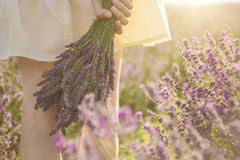 Lavender field walking. Unrecognizable portrait. Slender legs. HAnds is holding bouquet of lavender flowers Royalty Free Stock Photo