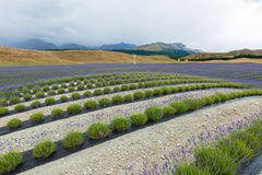 Lavender field on the way to Mt Cook National Park Royalty Free Stock Images