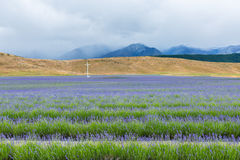 Lavender field on the way to Mt Cook National Park Royalty Free Stock Photos