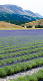 Lavender field on the way to Mt Cook National Park Stock Images