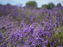 Lavender field. On a windy day stock photos