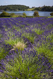 Lavender Field - Yorkshire - United Kingdom. A field of Lavender growing near Malton in North Yorkshire in the United Kingdom Royalty Free Stock Photo