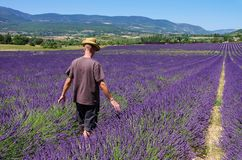 Lavender field and young man Royalty Free Stock Photography