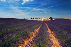 Lavender fields. In Provence, Alpes de Haute Provence Stock Photos