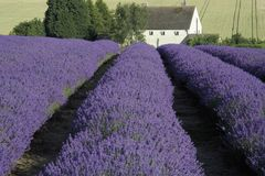 Lavender fields Stock Image