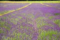 Lavender fields Stock Images