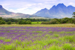 Lavender fields Stock Photography