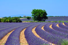 Lavender fields. In provence, france Royalty Free Stock Photography