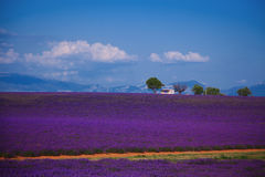 Lavender fields. Of the French Provence near Valensole Royalty Free Stock Image