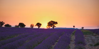 Lavender fields. Of the French Provence near Valensole Royalty Free Stock Photography