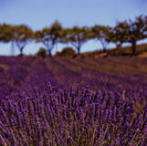 Lavender fields. Bordered by trees Royalty Free Stock Photography
