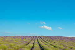 Lavender fields against the blue sky Royalty Free Stock Photo
