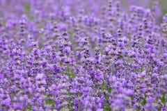 Lavender fields Stock Image
