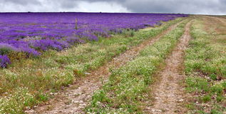 Lavender fields Royalty Free Stock Images
