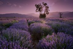 Lavender fields. Beautiful image of lavender field. Summer sunset landscape, contrasting colors. Dark clouds, dramatic sunset. Lavender fields. Beautiful image Royalty Free Stock Photos