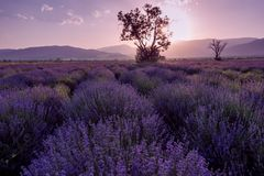 Lavender fields. Beautiful image of lavender field. Summer sunset landscape, contrasting colors. Dark clouds, dramatic sunset. Lavender fields. Beautiful image Stock Photo