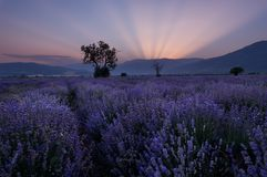 Lavender fields. Beautiful image of lavender field. Summer sunset landscape, contrasting colors. Dark clouds, dramatic sunset. Lavender fields. Beautiful image Royalty Free Stock Photo