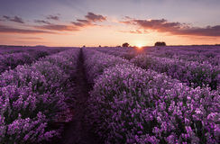 Lavender fields. Beautiful image of lavender field. Summer sunset landscape, contrasting colors. Dark clouds, dramatic sunset. Royalty Free Stock Photos