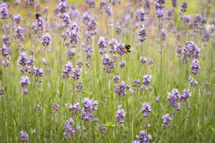 Lavender fields with bees Royalty Free Stock Images