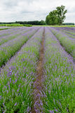 Lavender fields in Belgium Stock Photography