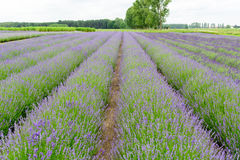 Lavender fields in Belgium Stock Photo