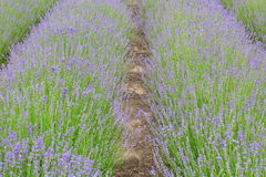 Lavender fields in Belgium Stock Images