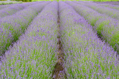 Lavender fields in Belgium Stock Photos