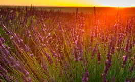 Lavender fields bloom stock photo