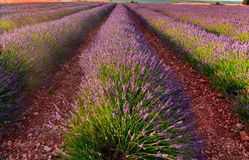 Lavender fields bloom royalty free stock photo