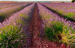 Lavender fields bloom royalty free stock image