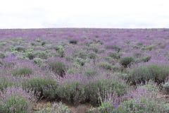 Lavender fields in Bulgaria. Blooming lavender fields in Bulgaria. Purple lavender flowers. Lavender bushes. Blooming lavender. Bee on a flower. Lavender honey stock photo