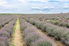 Lavender Fields in Bulgaria. Blooming lavender fields in Bulgaria. Purple lavender flowers. Lavender bushes. Blooming lavender. Bee on a flower. Lavender honey royalty free stock photos