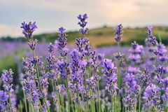 Lavender fields in Bulgaria stock images