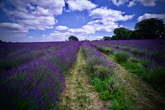 Lavender fields in England. Beautiful lavender fields in England. Summer concept royalty free stock photos