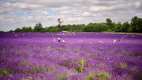 Lavender fields in England. Beautiful lavender fields in England. Summer concept royalty free stock photography