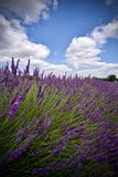 Lavender fields in England. Beautiful lavender fields in England. Summer concept stock photos