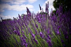 Lavender fields in England. Beautiful lavender fields in England. Summer concept stock images