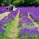 Lavender fields in England. Beautiful lavender fields in England. Summer concept stock photography