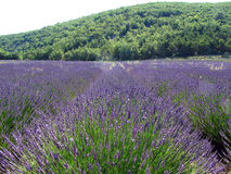 Lavender fields for essential oils. Lavender in full bloom in a field in july in the Provence of France, used for distilling essential oils - Alpes de Haute Royalty Free Stock Images