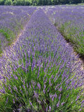 Lavender fields for essential oils. Lavender in full bloom in a field in july in the Provence of France, used for distilling essential oils - Alpes de Haute Royalty Free Stock Photos