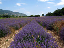 Lavender fields for essential oils. Lavender in full bloom in a field in july in the Provence of France, used for distilling essential oils - Alpes de Haute Royalty Free Stock Photo