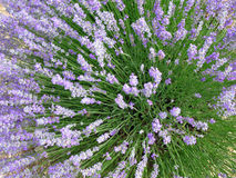 Lavender fields for essential oils. Lavender in full bloom in a field in july in the Provence of France, used for distilling essential oils - Alpes de Haute Stock Image
