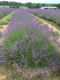 Lavender fields forever royalty free stock photography