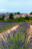 Lavender fields in France Royalty Free Stock Photo
