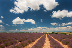 Lavender fields in the French Provence Royalty Free Stock Photography