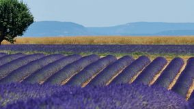 Lavender fields and a green tree. Lavender Fields of Provence, France, with a tree in the middle of Valensole Plateau stock footage