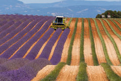Lavender fields harvesting in valensole provence france landscape. Tractor on the field Stock Photo