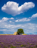 Lavender fields in the heart of Valensole, Southern France Stock Images