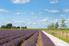 Lavender fields in Holland Stock Image